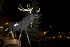 Dryden moose photo